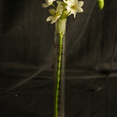Flor sobre pipeta