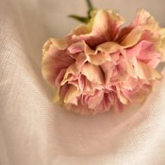 Clavel rosado